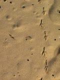 strandfotspårseagull Royaltyfri Bild