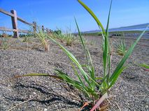Strandgräs Arkivbilder