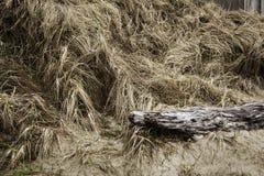 Strandgräs Royaltyfri Bild
