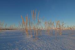 Strandgras op een koude maar gouden de winterochtend Royalty-vrije Stock Foto