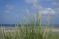 Strandhafer-Gras durch den Strand Stockbild