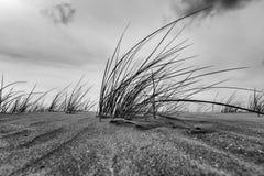 Strandhafer-Gras-Nahaufnahme in Schwarzweiss Lizenzfreie Stockbilder