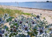 Strandhavsjärnek - växt med purpurfärgat växa för blommor vid kustlinjen arkivbilder