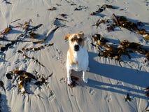 Strandhund im Sonnenaufganglicht Stockfotos
