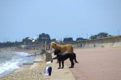 Strandhundkapplöpning Kent United Kingdom Arkivfoton