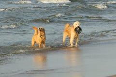 Strandhundkapplöpning som är klar att spela Royaltyfri Fotografi