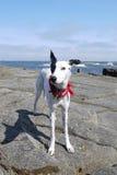Strandjagdhund Stockbild