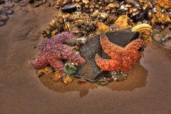 strandkanonoregon sjöstjärna Royaltyfria Foton