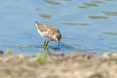 Strandloper, Bosruiter in van de glareolawaadvogel van Ondiep Watertringa de Vogelstrandloper royalty-vrije stock afbeeldingen
