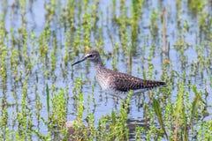 Strandloper, Bosruiter in van de glareolawaadvogel van Ondiep Watertringa de Vogelstrandloper stock afbeeldingen