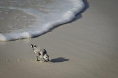 Strandloper en golf op kust Royalty-vrije Stock Foto