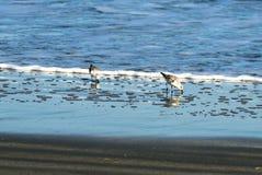 Strandloper het voederen bij de rand van de oceaan royalty-vrije stock afbeeldingen