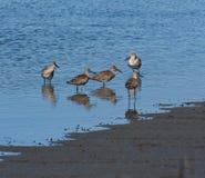 Strandlopers die in de rand van een zout-moeras waden royalty-vrije stock afbeeldingen