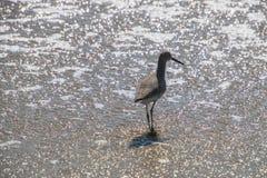 Strandlopervogel die in ondiep water van de oceaan op een strand weggaan stock afbeeldingen