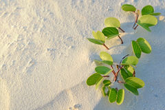 Strandmorgonhärlighet, Maldiverna Arkivbilder