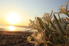 Strandnarzissen und -sonnenaufgang am Strand Lizenzfreies Stockfoto