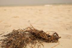 Strandonkruid (2) stock afbeeldingen
