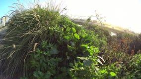 StrandPflanzen Cardiff Kalifornien stock video footage