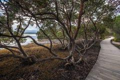 Strandpromenad bland mangrovar i Merimbula, Australien Fotografering för Bildbyråer