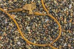 Strandrotsen & Kelp Stock Afbeeldingen