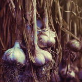 Strands of freshly dried garlic bulbs Royalty Free Stock Images