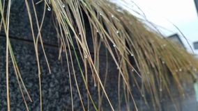 Strands of grass plant with water droplets hanging stock image