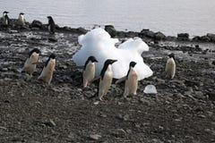 Strandscène met adeliepinguïnen Royalty-vrije Stock Afbeeldingen