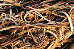 strandseaweed Arkivfoto