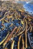 strandseaweed Arkivbilder