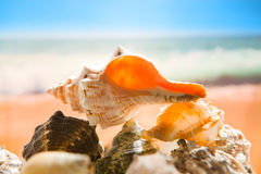 strandskal Arkivfoton