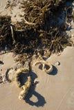 strandskatter Arkivbild