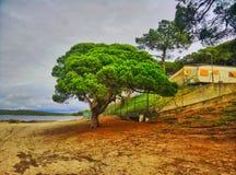 Strandträd Fotografering för Bildbyråer