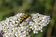 Strangalia maculata beetle on Yarrow (Achillea) Stock Photography