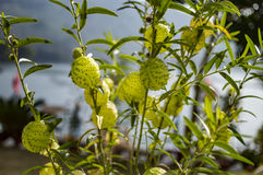 Strange balloon flowers of milkweed plant. With green leaves and stems stock photography