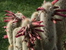 Unusual flowering cactus royalty free stock photography
