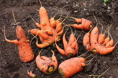 Strange carrots Stock Image