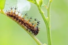 Strange caterpillar Royalty Free Stock Image