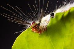 Strange caterpillar Royalty Free Stock Photography