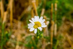 Strange chamomile camomile flower on field. royalty free stock images