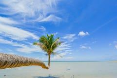 Strange coconut tree Royalty Free Stock Image