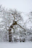 Strange dancing tree. Strange shaped tree covered with snow, entwined with other tree branches. Looks like it is dancing or struggling to escape Royalty Free Stock Photos