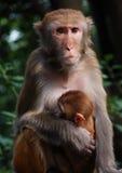 Strange expression. Mother monkey and little monkey Royalty Free Stock Image