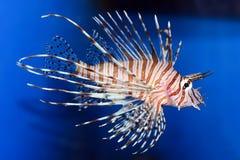 Strange fish. Dangerous striped fish on blue Royalty Free Stock Photos