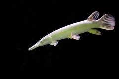 Strange fish. royalty free stock photos