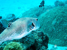 Strange fish. A porcupine fish in the clear water of Watamu, Kenya Royalty Free Stock Photography