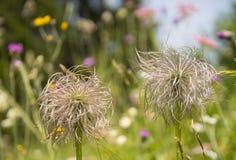 Strange  fluffy wild flowers Stock Images