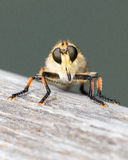 Strange Fly - Face off!. Strange looking fly resting on a wooden railing stock photo