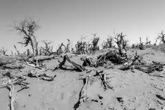Strange Forest. Ejina Qi - Inner Mongolia - China Photo taken on Oct. 10th, 2013 royalty free stock images