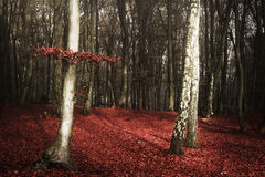 Strange forest with red leaves Stock Images