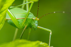 Strange grasshopper Stock Images